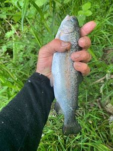 Rainbow Trout — Christophe Mathieu