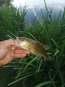Largemouth Bass — William  Monfort