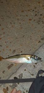 Mediterranean Horse Mackerel — Thibault Dominguez