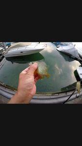 Green Sunfish — Fishing Vortex