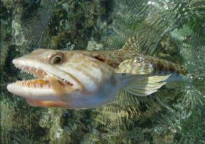 Atlantic Lizardfish — GTR DT