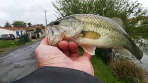 Largemouth Bass — Serge Franckowiak