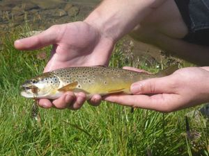 Brown Trout — Quentin Giry