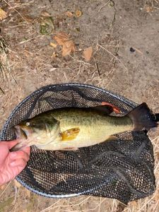 Largemouth Bass — Pescaïre 31