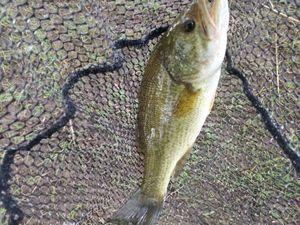 Largemouth Bass — Antho Toteamfishing