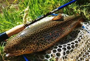 Brown Trout — Stephane Leurriste