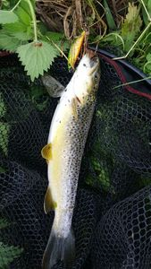 Brown Trout — Ben Ji