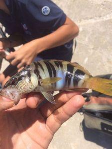 Serran Commun (Sarran) — Fishing Porquerolles