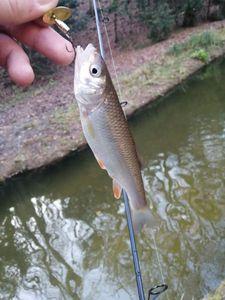 Chub — Adrien Fisherman