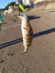 European Perch — Mike fishing
