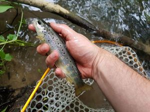 Brown Trout — Mathieu Vachon