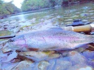 Rainbow Trout — Cédric Pstk