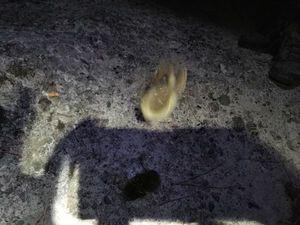 European Eel (Common Eel) — Dume  Tomasi
