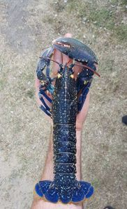 European Lobster — Alex Gentet