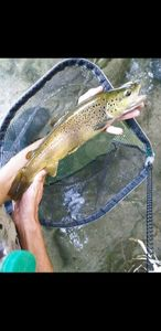 Brown Trout — Florian B