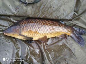 Common Carp — Kévin Martin