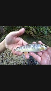 Brown Trout — Fishing Vortex