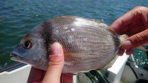 Common Two-banded Seabream — Eric Pouriel