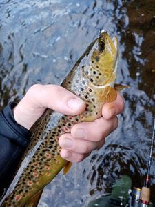 Brown Trout — Antho Raplapla