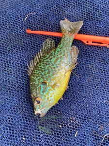 Green Sunfish