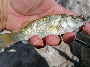 Black Bass (Achigan à Grande Bouche) — Mich  Pêche