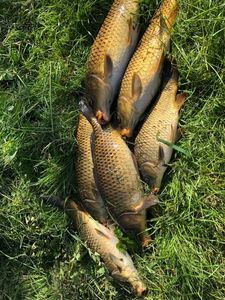 Common Carp — Teddy Roger