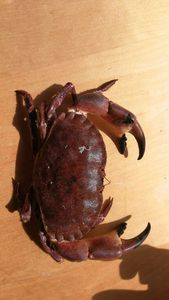 Brown Crab — Etienne Bgd