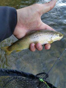 Brown Trout — RosKa Fisha