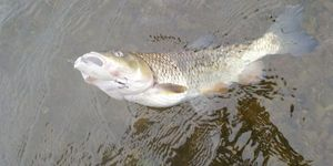 Chevesne — Fisherman Olo