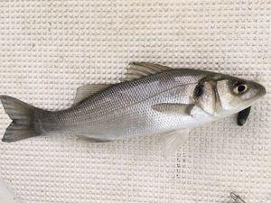 European Bass (Seabass) — François BARBEAU