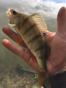 European Perch — Esox Lucius