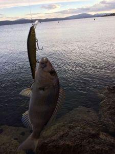 Dentex — Fishing Troll Spinning