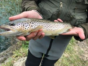 Brown Trout — Dylan Turrel