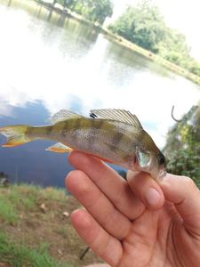 European Perch — Walker's Fishing