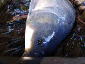 Mirror Carp — Lucas And Fish