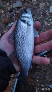 European Bass (Seabass) — Sebastien Margier
