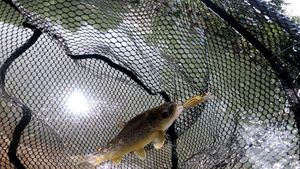 Brown Trout — Ulysse BEAUDOUIN