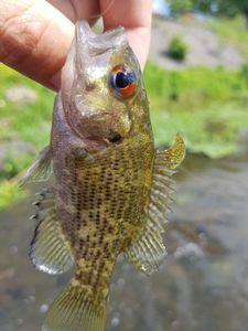 Rock Bass — Wilfried Jovin