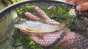 Brown Trout — Brice Lacan