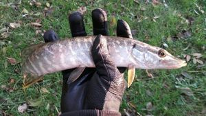 Northern Pike — ShadOows Ruban-Rouge