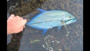 Blue Spotted Trevally — Andy Gilbert