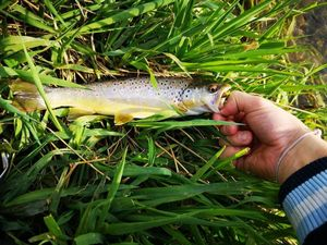 Brown Trout — Guillaume Dumarest