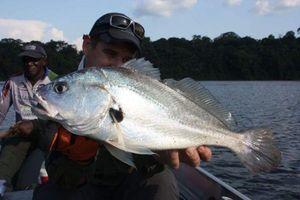 South American Silver Croaker