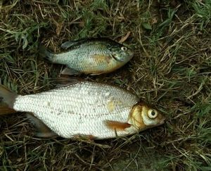 Green Sunfish — Elio Grunwald