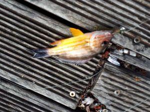 Blacktail Snapper
