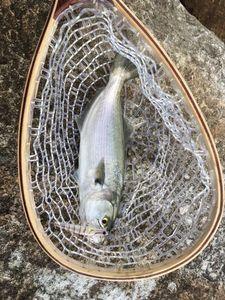Tailor fish — Adrien Gacon
