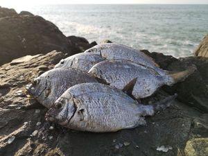 White Seabream — Stéph Pigpig