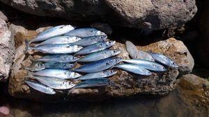 Mackerel — Pierre Pelloin