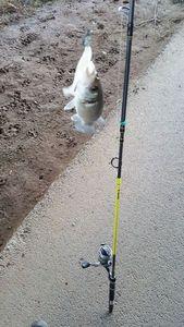 European Bass (Seabass) — Stéph Pigpig