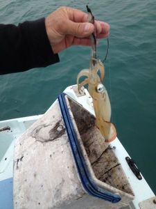 European Squid — Jean Pierre Braconnier